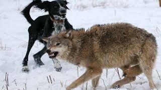 Воспитанный волками ПЁС не дал охотнику убить вожака, закрыв его своим телом