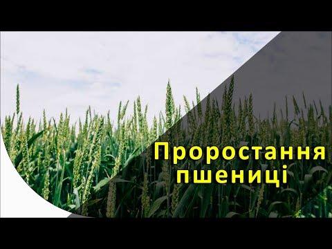 Прорастание и получение всходов пшеницы