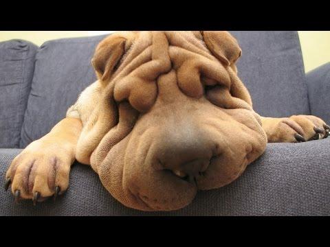 Cachorros Nem Sempre São Graciosos Quando Dormem...
