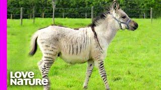 Rare Baby 'Zonkey' Born After Zebra Meets Donkey | Oddest Animal Friendships | Love Nature