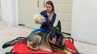 Frequently Asked Friday - German Shepherd Shedding!