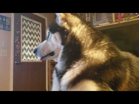 Malamute's Silent Treatment Over New Puppy