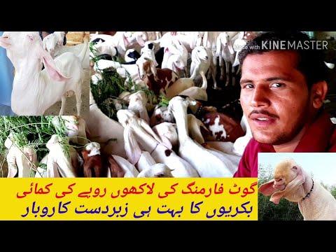 کراچی ساکڑو  بکریوں کا فارم گوٹ فارمنگ کی خریداری ٹیڈی بکریاں
