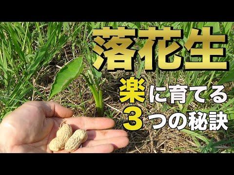 , title : '【自然農】落花生栽培!超簡単に草マルチで育てる秘訣