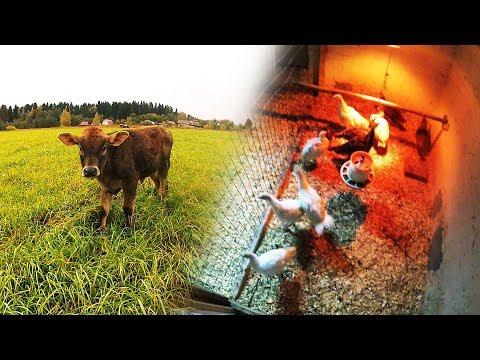 , title : 'Подсобное хозяйство: Корова, куры несушки, индюшата.
