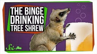 This Binge-drinking Tree Shrew Could Probably Outdrink You - Video Youtube