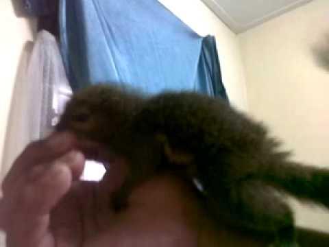 Video cara melatih tupai kelapa supaya jinak ditangan