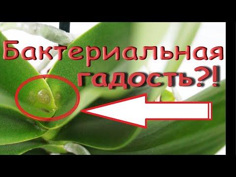 """Орхидея:БАКТЕРИАЛЬНАЯ ГНИЛЬ,суровое ЛЕЧЕНИЕ,чудо.Phal.'Purple Rain' (фаленопсис """"Пурпурный Дождь"""")."""