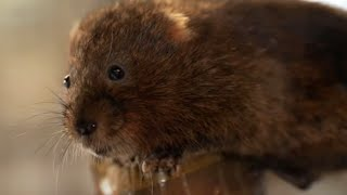 Saving Water Voles From Extinction | Wild Rescue | BBC Earth
