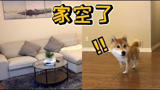 Shibas' Reaction to the Empty House - Funny Reaction