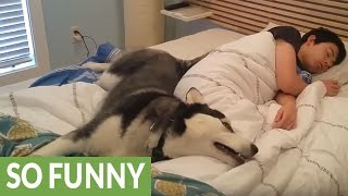 Husky tries waking owner, ends up snuggling him | Kholo.pk