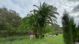 Sylvester/Reclanata Palm