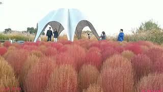 mqdefault - 首爾天空公園,波斯菊、紫芒草、亂子草、掃帚草 2018 十月季節限定,如欲到此一遊必先捱上291梯级。