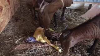 Mama goat giving birth to twins