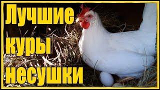 Выращивание несушек Ломан Вайт от цыпленка до первого яйца в 4 месяца