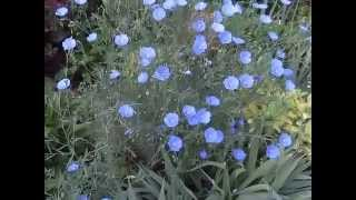 GARDEN WALK - HERBS & FLOWERS - Www.larksperennials.com