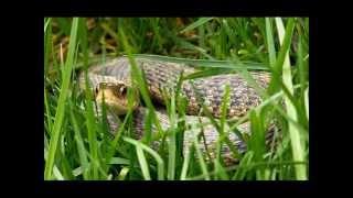Sneaky Snake