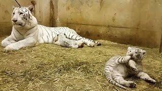 ホワイトタイガーの赤ちゃん