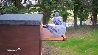 Barn Owl Fights Off Pigeon