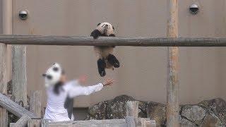 【得意げw✨】🐼彩浜🌈駆け足渡り披露🎶+おまけ映像【赤ちゃんパンダ】Giant Panda -Saihin -☆Cross the bridge