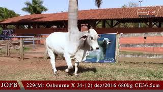 Bovino Corte Brahman Touro - e-rural Imagens