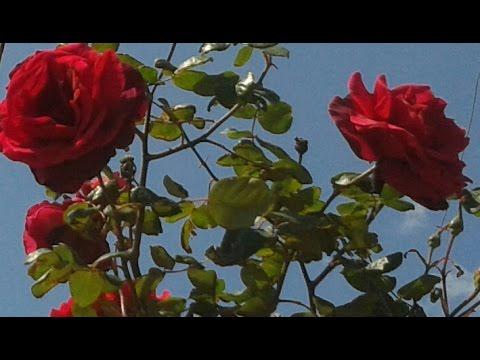 SHOPEN   ./ Вальс цветов/