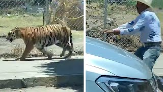 video: 'Tiger King of Mexico' lassos big cat on surburban street