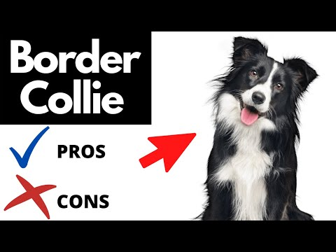 Border Collie Pros And Cons | The Good AND The Bad!!