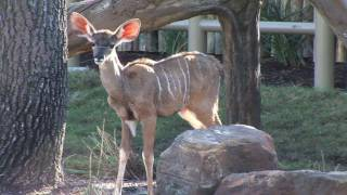 Who Are The Kudu?