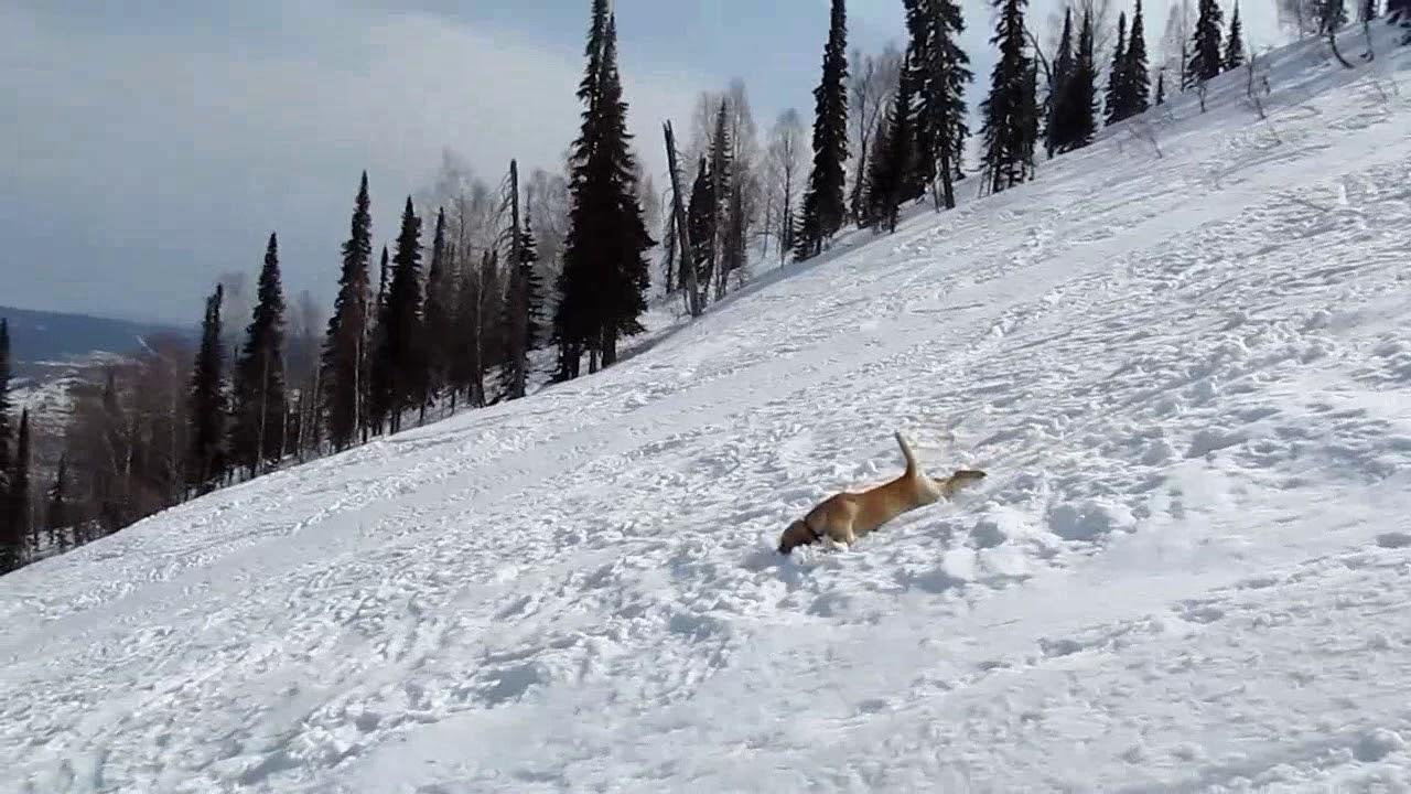 Лабрадор - любитель кататься с гор