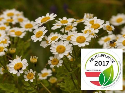 Mutterkraut ist Arzneipflanze des Jahres 2017