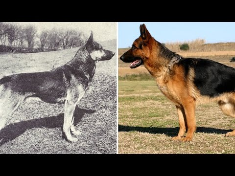 Here's What Popular Dog Breeds Looked Like Before And After 100 Years Of Breeding
