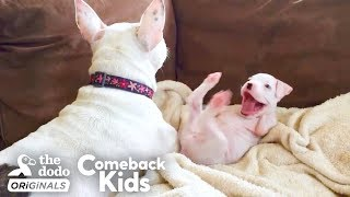 Nubby The 2-Legged Boxer Steals His Dad's Heart   The Dodo Comeback Kids
