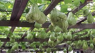 WOW! Amazing Agriculture Technology   Chayote