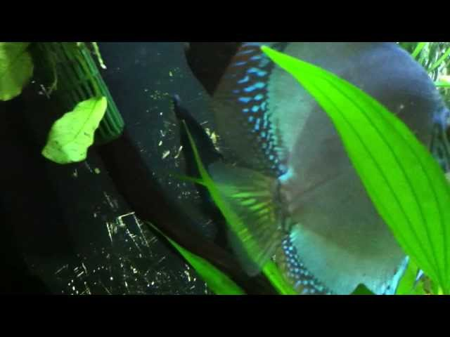 Discus and Black Ghost Knife Fish