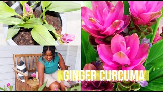 Growing My Curcuma Ginger Plant in My Zone 6 Midwest Garden