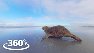 Rehabilitated Seals Released Back Into The Wild - VR Experience