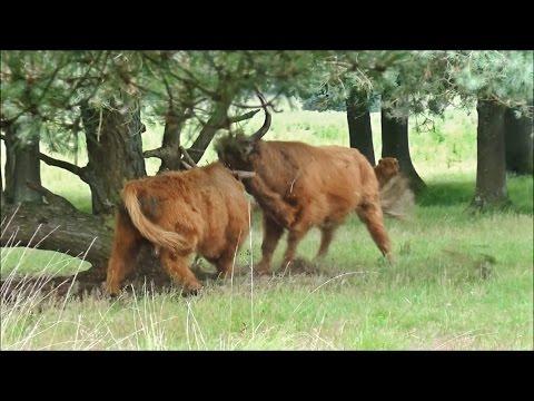 , title : 'Highland bulls spectacular fighting - Terlet, The Netherlands