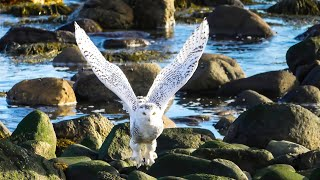 Snowy Owls of Rye Beach State Park