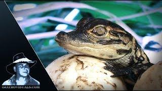 American Alligators Hatching Footage 02