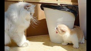 【喵来啦】初生牛犊不怕虎!新来的小奶猫挑战三只大猫:让开!我可凶了!