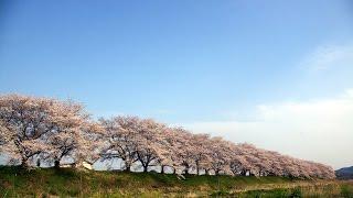 穴場桜スポット宮の桜堤青空と満開の桜栃木県栃木市inTochigi