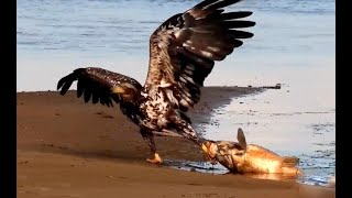 Juvie Eagle lands giant fish! Explore,org 25 June 2020