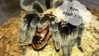 Tarantula Feeding Video #20 ~ Hungry Spooiderss !!!