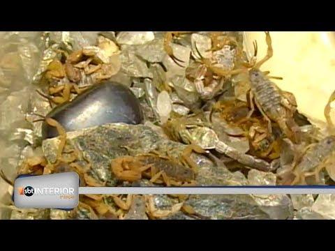 Aumentaram os acidentes com escorpiões em Araçatuba