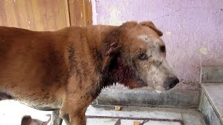 Street dog's ear devoured by flesh-eating worms, rescued