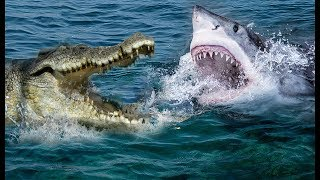 Crocodile Vs Shark | Who Will Be The Winner ?