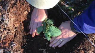 Growing Blackberries Part 1 ~ PLANTING