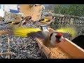 Magnifique vidéo de Chardonneret élégant en liberté