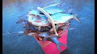 ОТЛИЧНЫЙ КЛЁВ НА ЗИМНЕЙ РЫБАЛКЕ. Поймал рыбы больше ведра)) Глухозимья у нас нет. Подлёдное видео.
